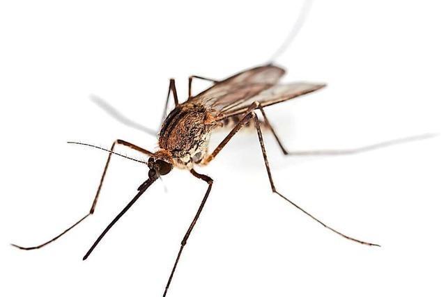 Ein gutes Jahr für Stechmücken in der Ortenau