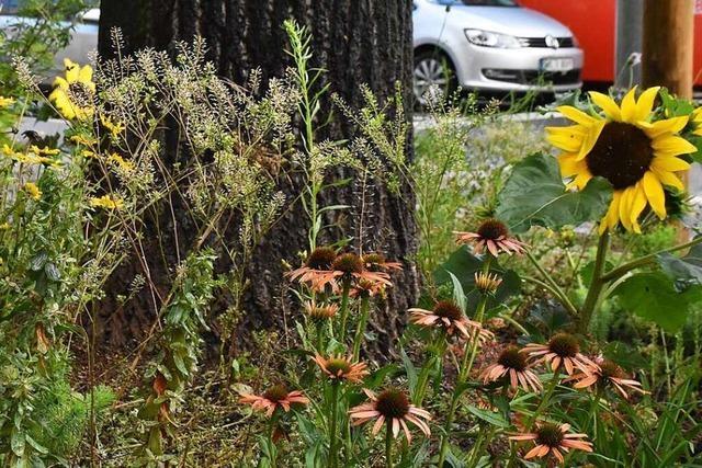 Lörrach sucht Paten für Stadtbäume und ihre Baumbeete