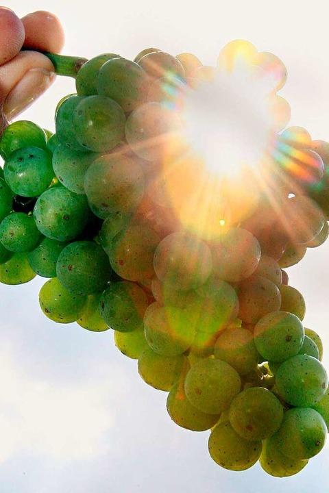 Weintrauben lieben die Sonne – d...che Wein streicht sie aus ihrem Claim.    Foto: A3386 Uli Deck