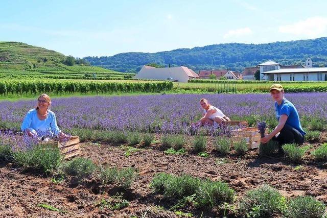 Am Kaiserstuhl wird jetzt auch Lavendel angebaut