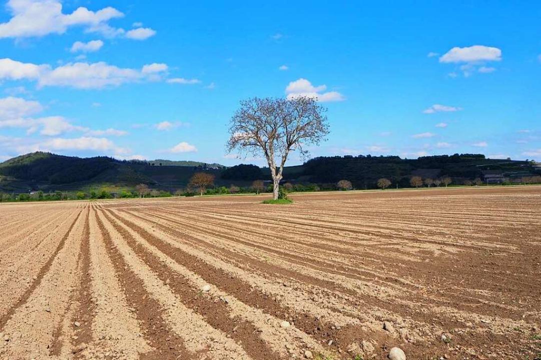 Allein auf weiter Flur: Ein Walnussbau...ruchten Feld in der Nähe von Breisach.  | Foto: Carola Holweg