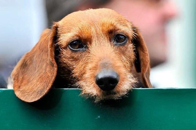 Welche Vor- und Nachteile bringt der geplante Hundeführerschein?