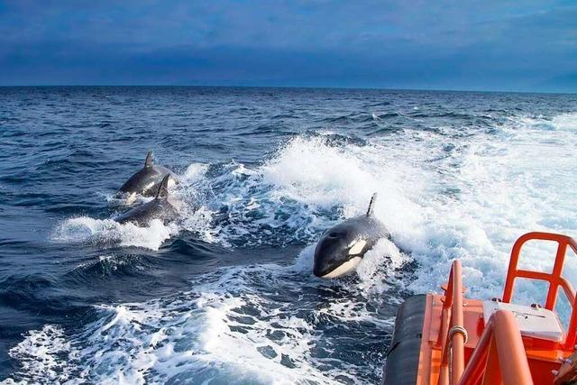 Orcas greifen im Süden Spaniens Segelboote an