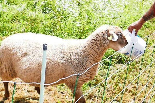 Schafe grasen in Schopfheim für den Hochwasserschutz