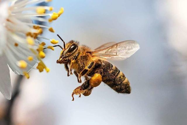 Wie sich Imker aus dem Dreisamtal für die Biene einsetzen