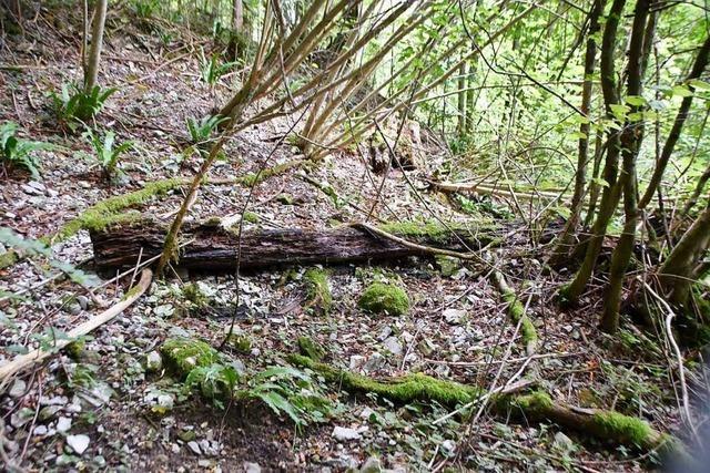 Mitglied von Umweltverbänden kritisiert Holzeinschlag in Grenzach-Wyhlen
