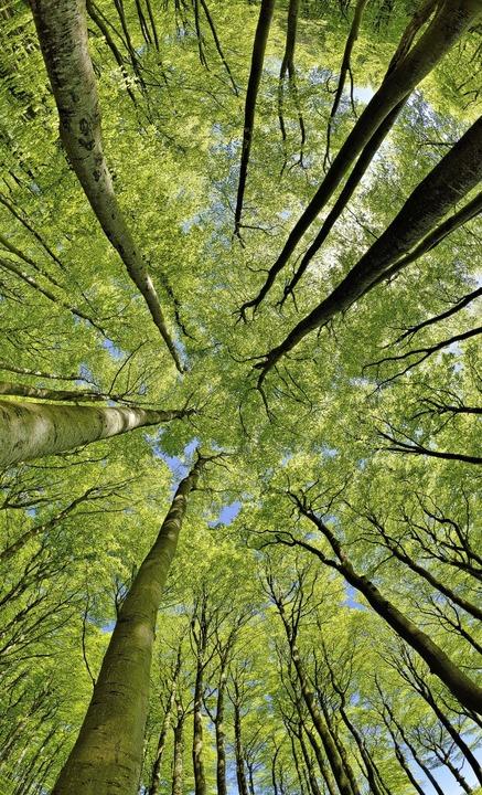 Welcher Baum bleibt gesund, welcher nicht? Ein (noch) intakter Buchenwald  | Foto: Andreas Vitting ( stock.adobe.com)