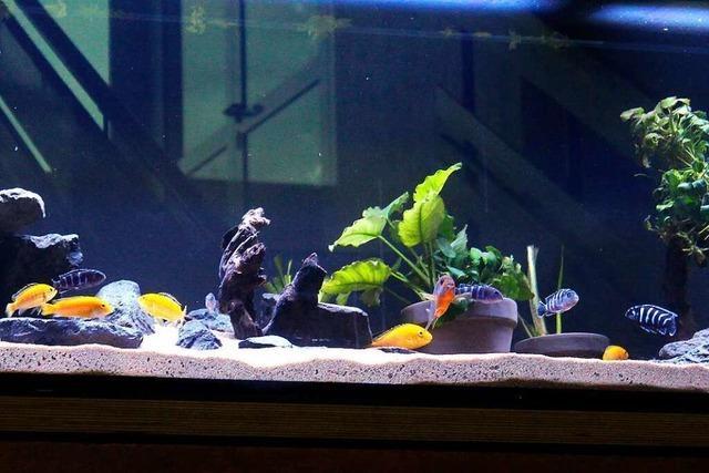 Das neue Aquarium in der Grundschule Istein ist in Betrieb