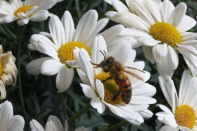 Die Gründe für das Bienensterben in Efringen-Kirchen bleiben rätselhaft