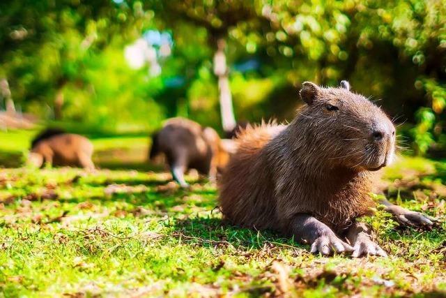 Hunderte Capybaras nerven Anwohner in einer argentinischen Luxussiedlung