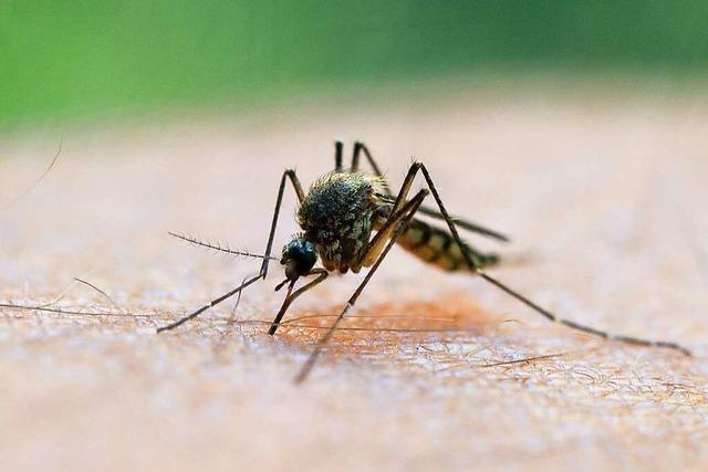 Viel Regen sorgt für viele Stechmücken in der Region Freiburg