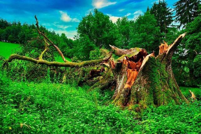 Nachruf auf ein Naturdenkmal: Gewitter fällt 400 Jahre alte Eiche in Freiamt