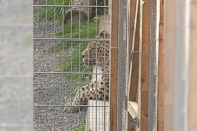 Leopard verletzt Model bei Fotoshooting