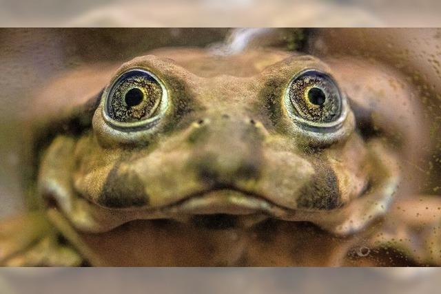 Vom Aussterben bedrohter Titicaca-Riesenfrosch
