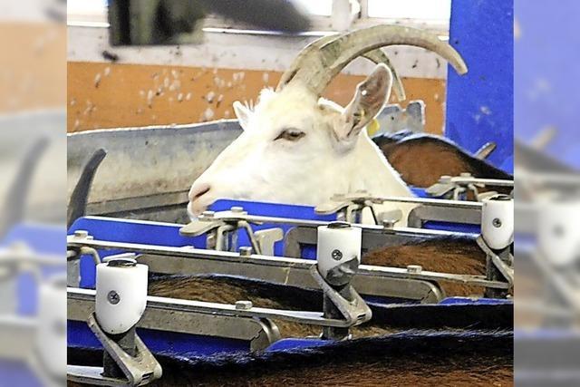 Zu Besuch bei den Ziegen auf dem Ringlihof