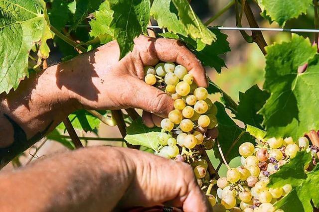 Die Weinlese startet in diesem Jahr erst Mitte September