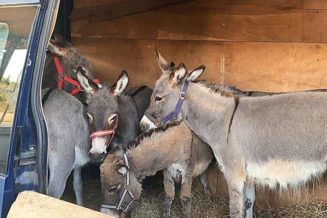 Mann will sechs Esel über den Zoll bei Rheinfelden schmuggeln
