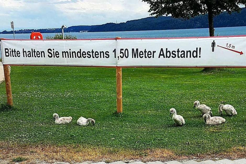 Die jungen Schwäne am Bodensee haben sich sichtlich darüber gefreut, dass alle den vorgeschriebenen Abstand eingehalten haben. (Foto: Franz Roth)