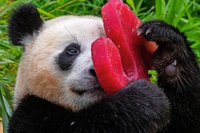 Pandazwillinge Pit und Paule feiern Geburtstag