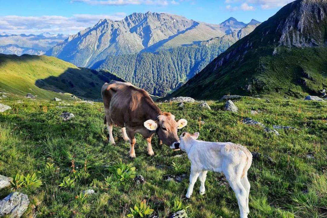 Auch um Mutterkuh und Kälbchen kümmern sich die drei Horbener.    Foto: Jonas Zimmermann