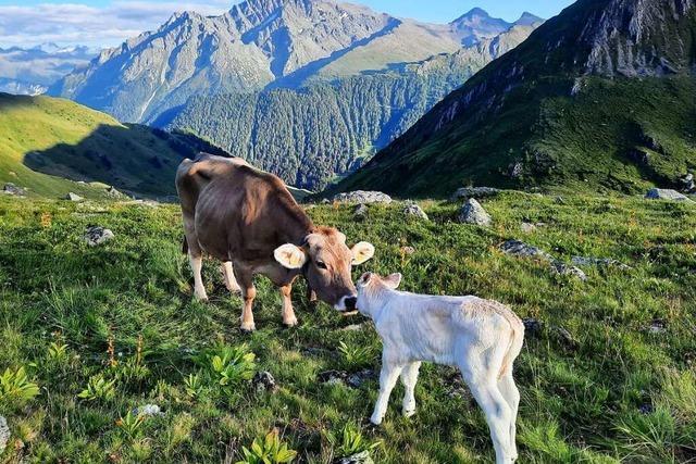 Drei Horbener verbringen den Sommer auf der höchsten Milchviehalm Europas