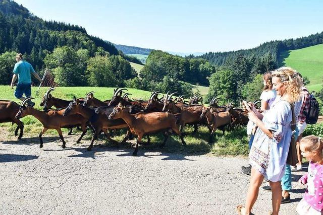 Wie rund 300 Ziegen auf dem Ringlihof in Horben leben und für Käse sorgen