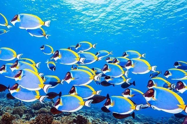 Künstliche Fische helfen bei der Erforschung des Schwarmverhaltens
