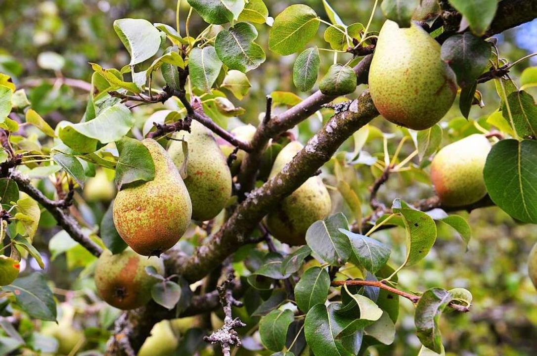Herrlich grün und saftig: Birnenbaum auf der Streuobstwiese am Schönberg  | Foto: Kathrin Blum