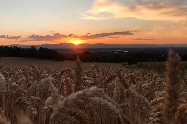 Die Ernte im Landkreis Lörrach verzögert sich um einige Wochen