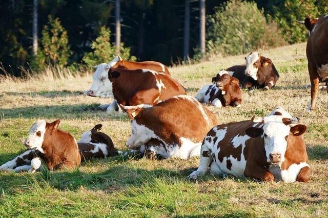 Jungbulle verschwindet von Weide – Polizei geht von Diebstahl aus
