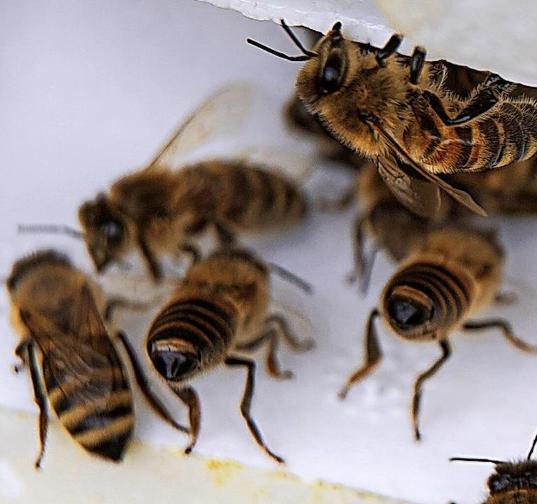 Bienen auf der Suche nach Nektar  | Foto: Sina Schuldt (dpa)
