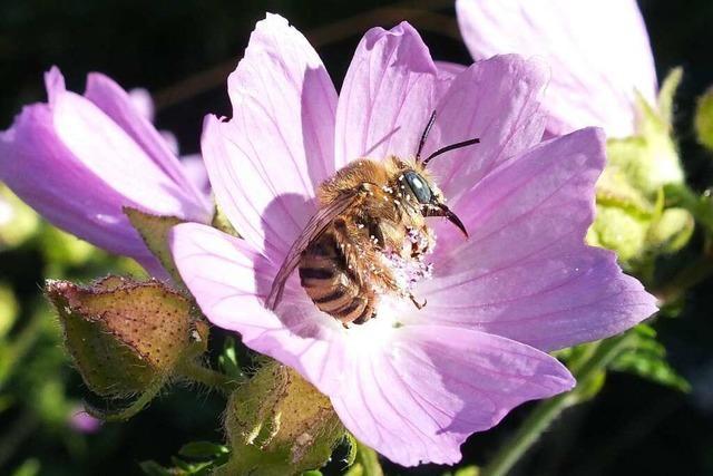 Was gegen das Insektensterben getan werden kann – ein Beispiel aus Opfingen