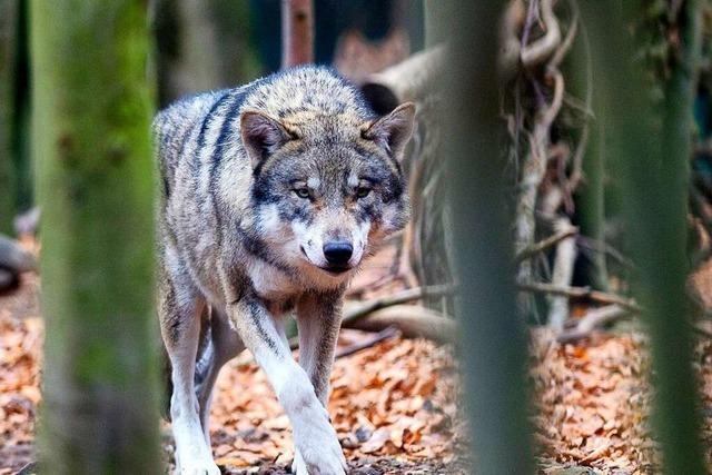 In Nordrach hat am 26. August ein Wolf getötet