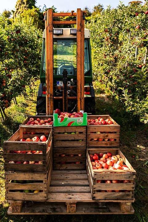 Bei der Apfelernte: die Familie von Fritz und Agathe Hagios in Gottenheim    Foto: Hubert Gemmert