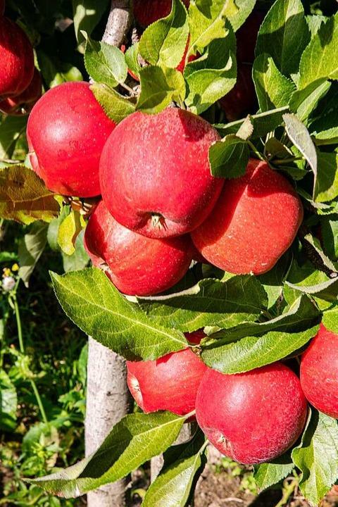 Rot leuchten die Äpfel der Familie Hagios in Gottenheim.    Foto: Hubert Gemmert
