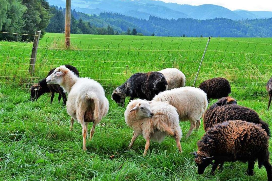 20 Schafe geben dem Hof seinen Namen.  | Foto: Kathrin Blum