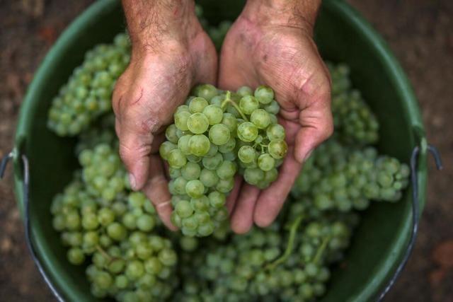 Der Bioweinbau leidet besonders unter den Klimaveränderungen – und soll doch ausgebaut werden