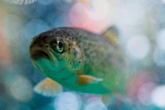 Wie atmen Fische?