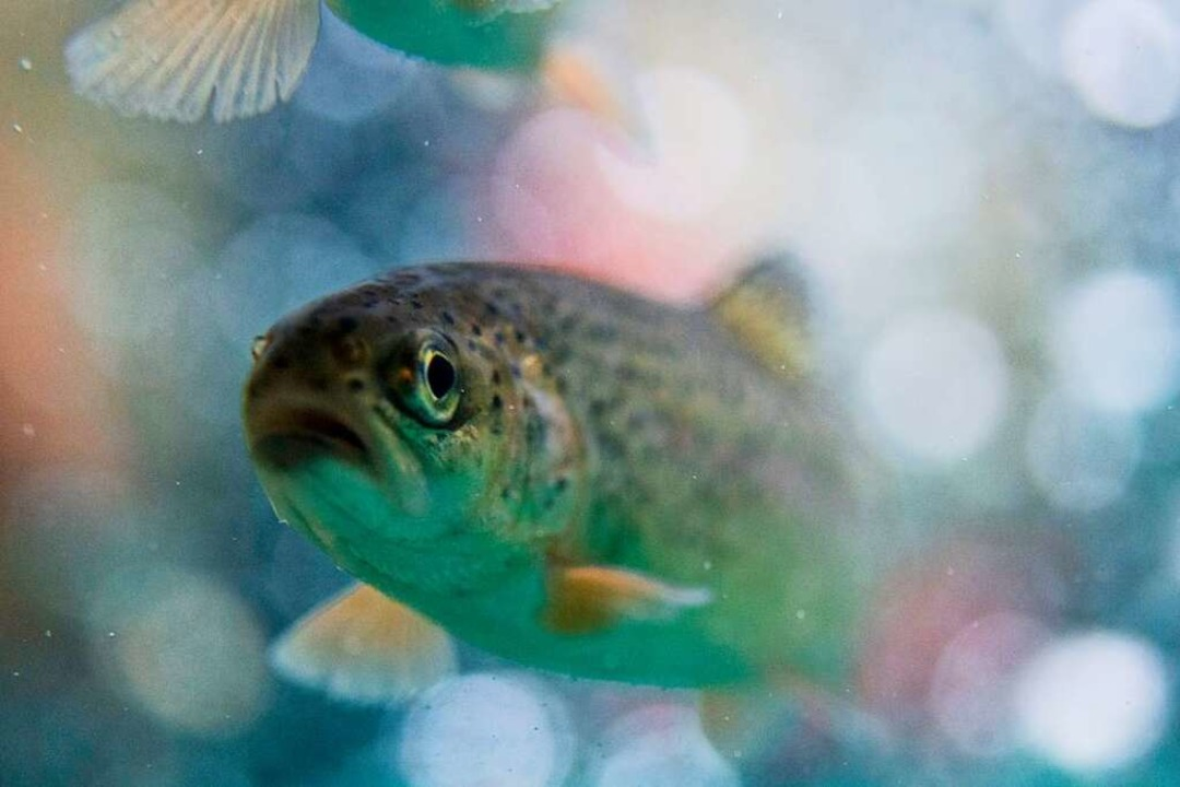 Eine Forelle schwimmt im Wasser eines Aquariums.  | Foto: Bernd Thissen
