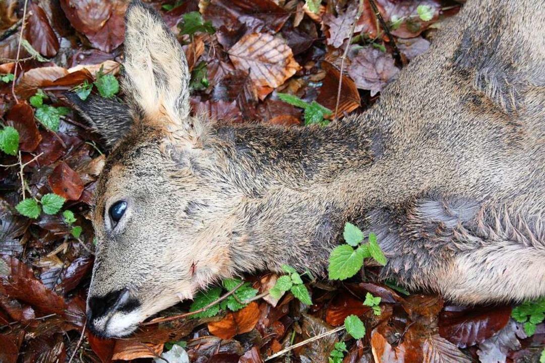 Immer wieder werden im Landkreis Rehe von Hunden getötet.  | Foto: Silvia Faller