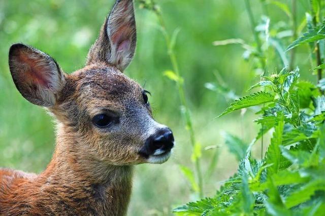 14 tote Rehe im Wald von Heuweiler gefunden – waren es Hunde?