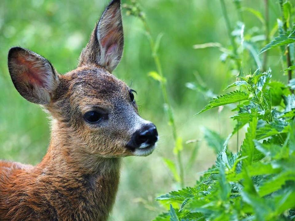 Junge Rehe leben in den Wäldern von Gu...Heuweiler derzeit nicht ungefährlich.   | Foto: Susanne Gilg