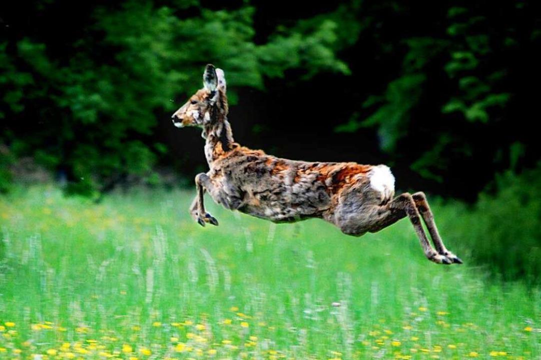 Junge Rehe leben in den Wäldern von Gu... Heuweiler derzeit nicht ungefährlich.  | Foto: photocase.de/stefles