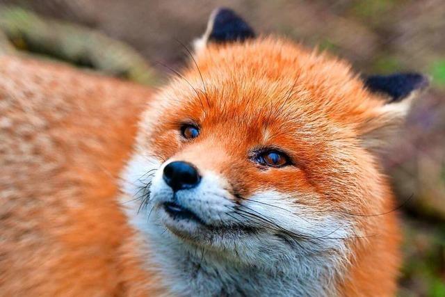 Ein Fuchs richtet es sich unter der Eckbank ein