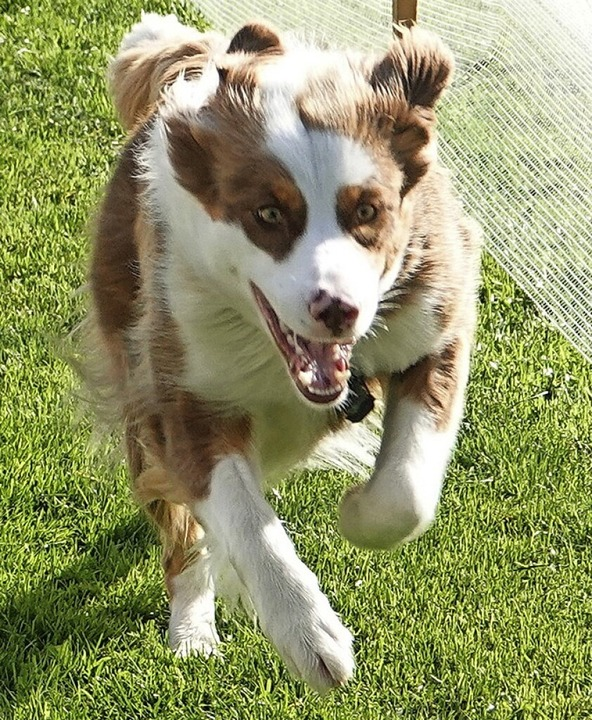 Dieser Hund scheint sein Ziel scharf i...aben, was nicht allen Startern gelang.    Foto: Hans-Jürgen Hege