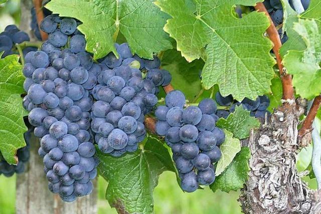 Das Weinjahr gestaltet sich für die Weiler Winzer schwierig