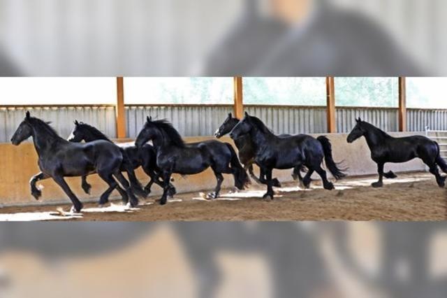 Prächtige Pferde stellen sich der Jury