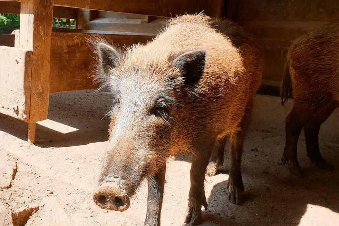 Grunzende Begrüßung: Im Tiergehege gibt es Wildschweine und Hirsche.  | Foto: Gabriele Poppen