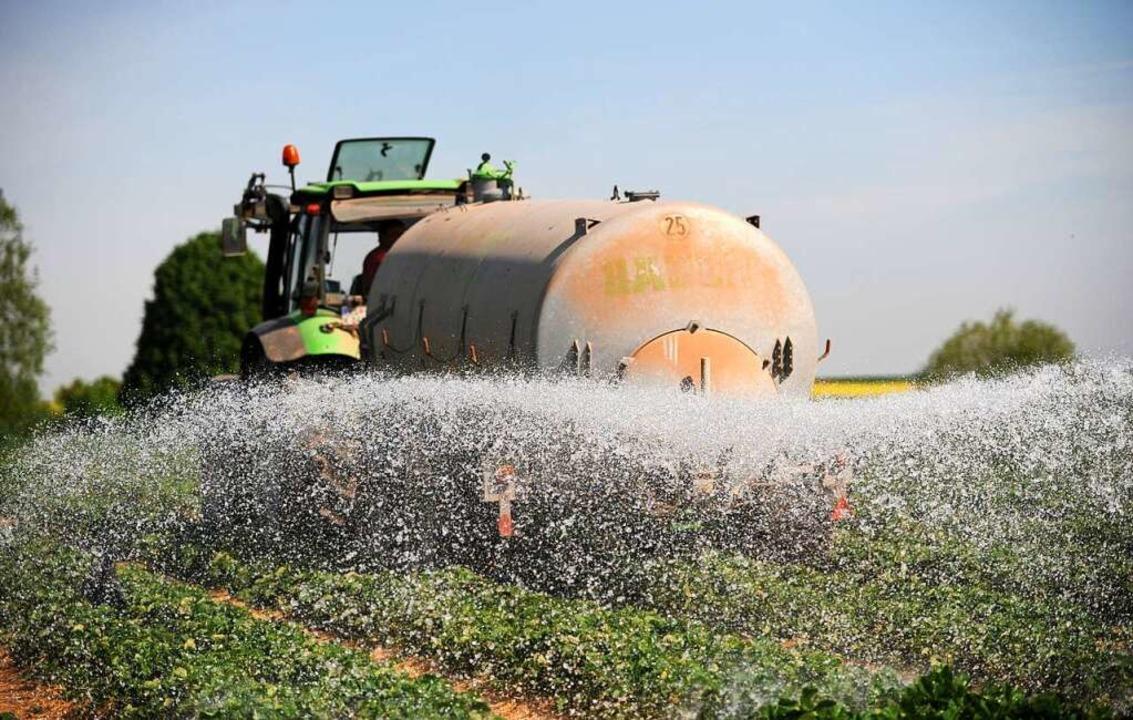 Ein Obstbauer wässert ein Erdbeerfeld. (Symbolbild)    Foto: Uwe Zucchi