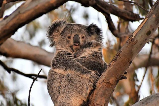 Eine Frau aus Ehrenkirchen rettet in Australien Koalas vor dem Aussterben